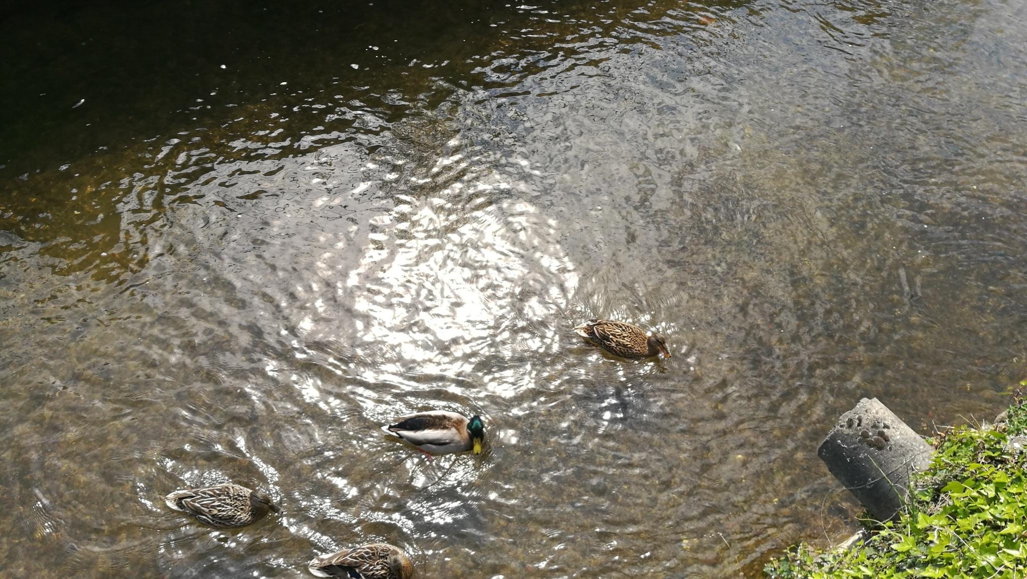 canards sur l'Ariège